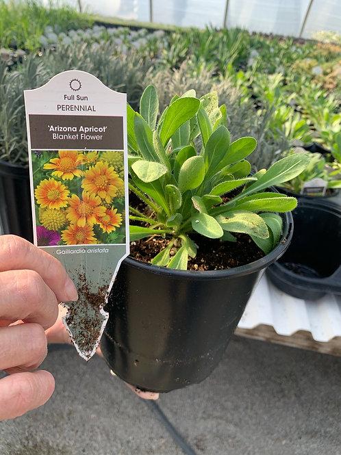 Gaillardia (Blanket Flower) Arizona Apricot