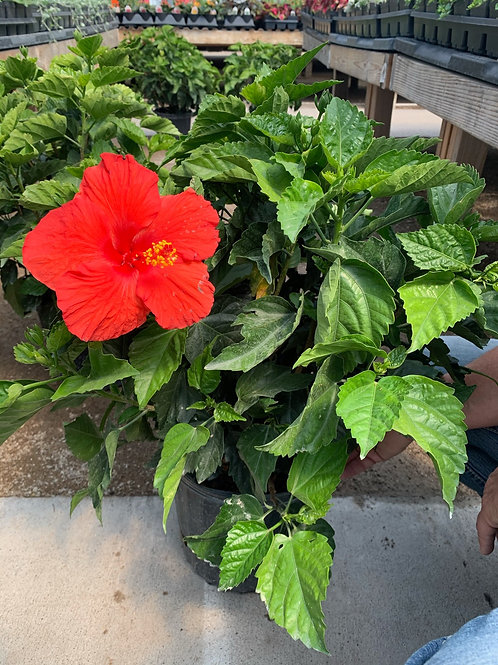 Red President Hibiscus
