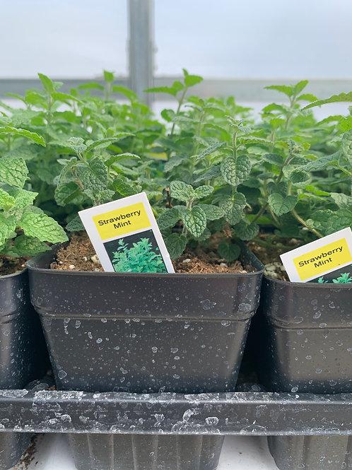 Strawberry Mint Herb