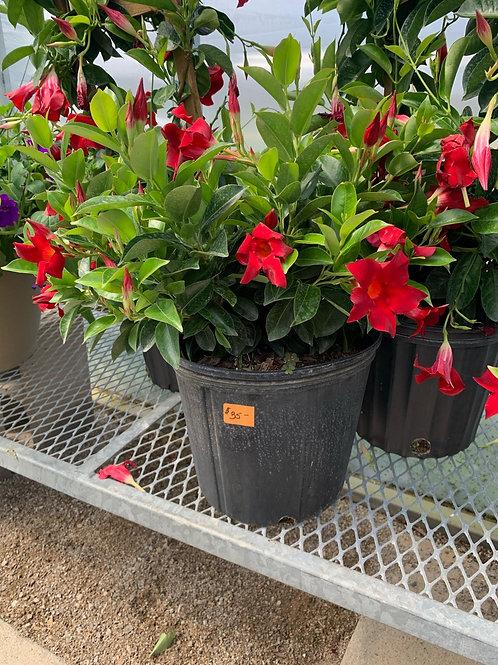 Mandevilla Deep Red Bush
