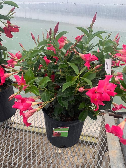Mandevilla Pink Bush