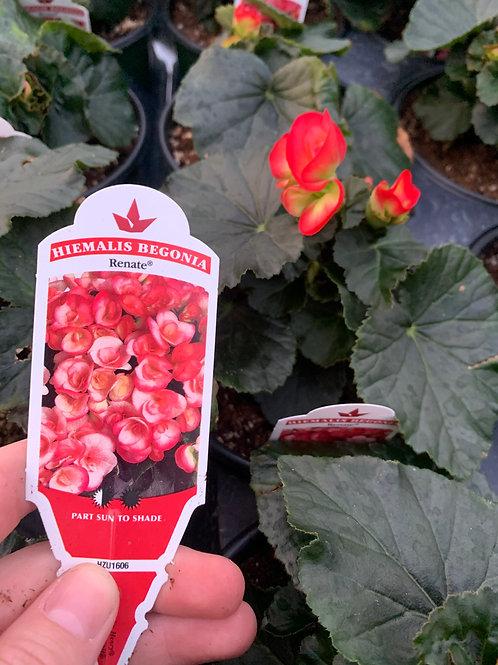 Begonia Renate