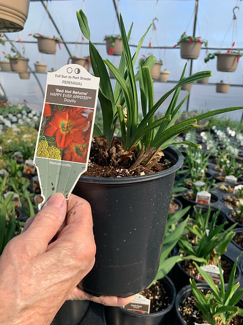 Day Lily  Red Hot Returns