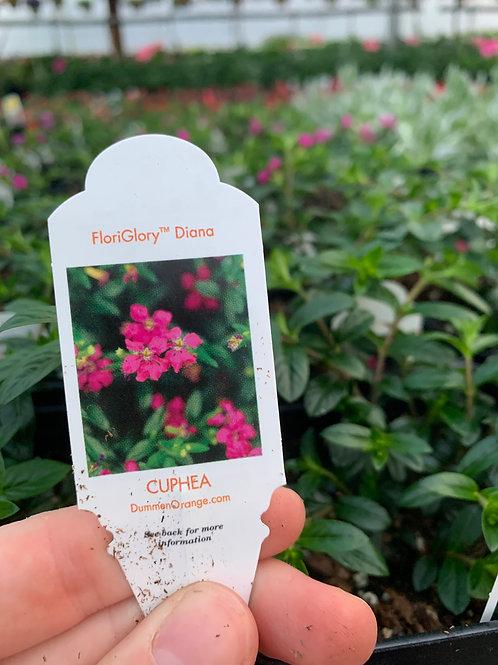 Floriglory Diana Cuphea