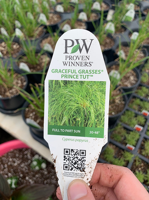 Graceful Grasses Prince Tut
