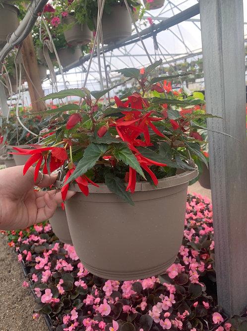 Begonia Beauvilia Red