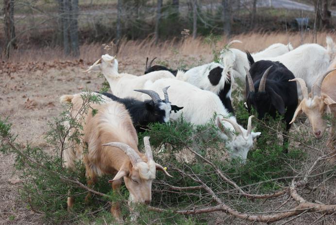 Herd A