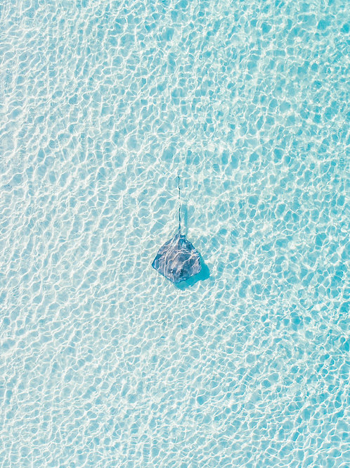 Bahamian Stingray