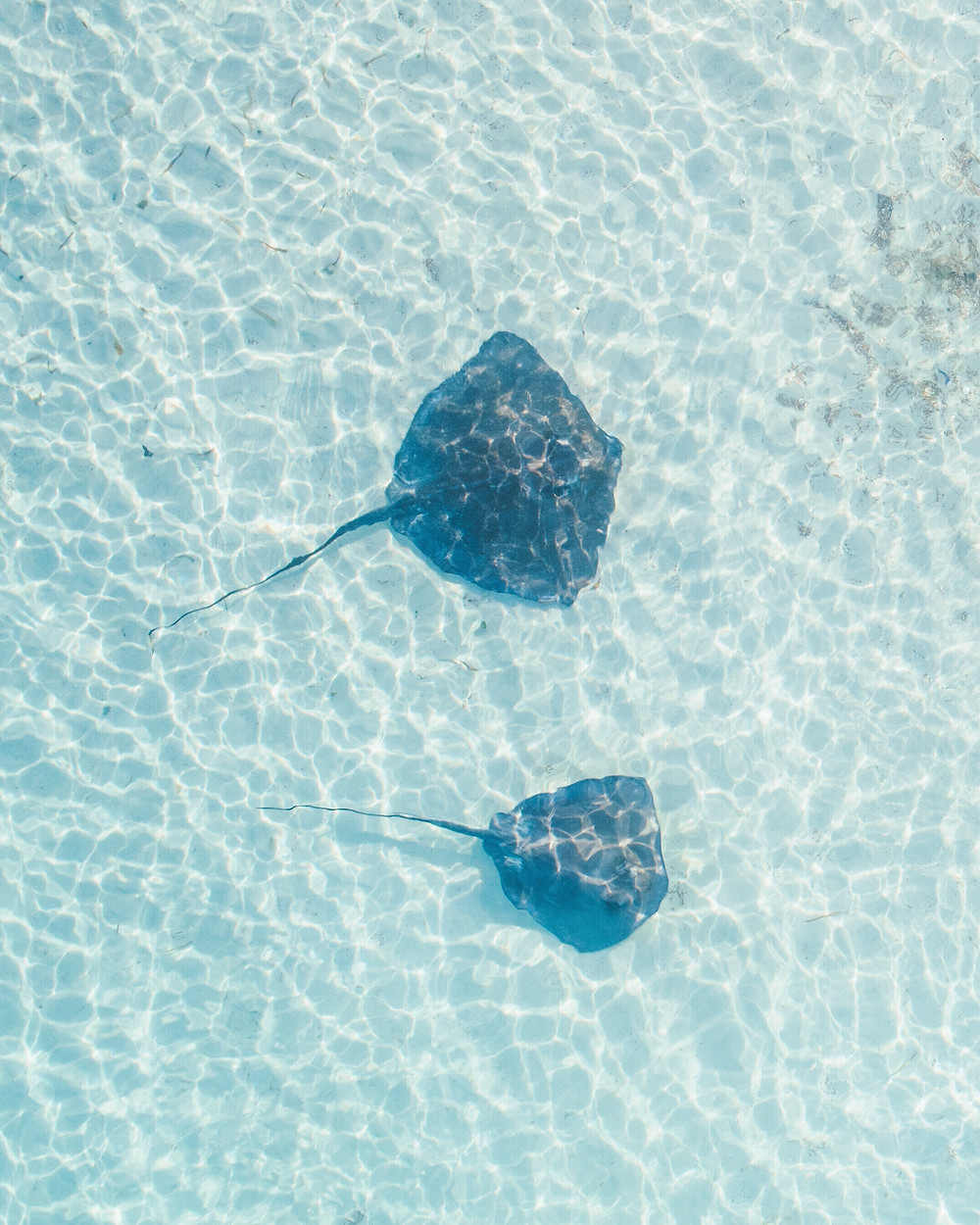 piercegainey dronedude stingrays swimming