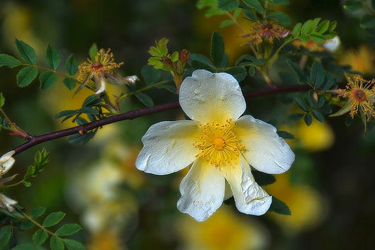apple-blossom-on-a-branch-toni-abdnour.j