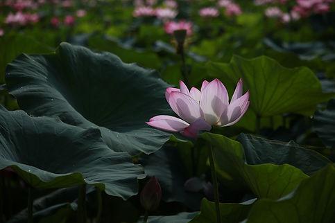 lotus-4312140_1920.jpg
