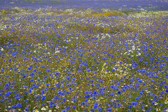 cornflowers-968577_1920(1).jpg