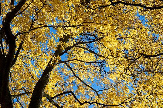Yellow_Falling_Leaves_-_Christoffer_Vittrup_Nielsen_-_boff2.jpg