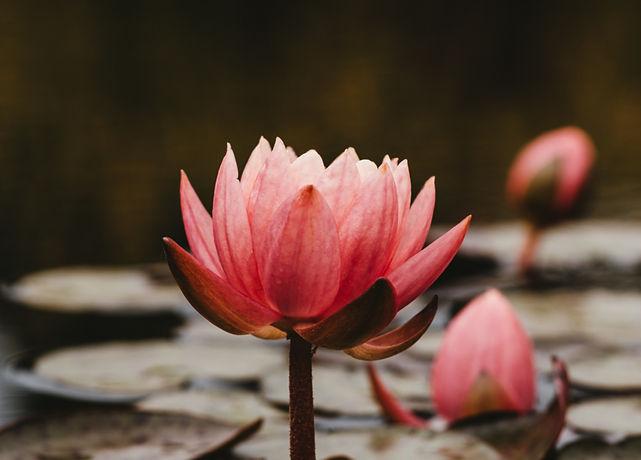 pink lotus flowers_edited_edited_edited.jpg