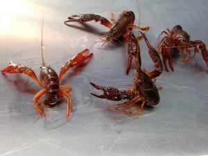 crawfishes-crawfish-kings-300x225.jpg