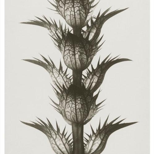 Art print, 18x24cm, Acanthus mollis, Karl Blossfeldt