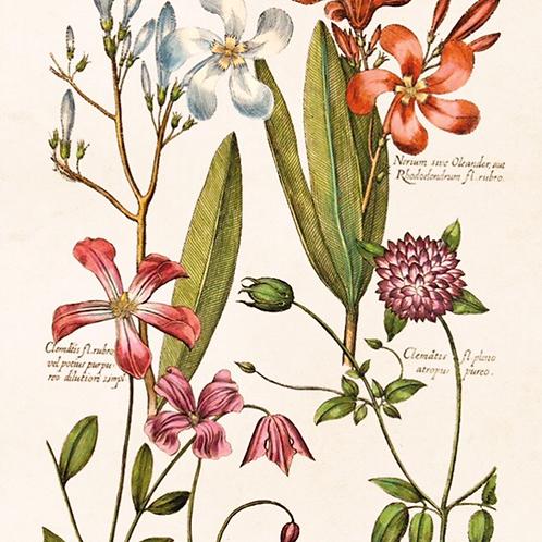 Poster, 18x24cm, Clematis