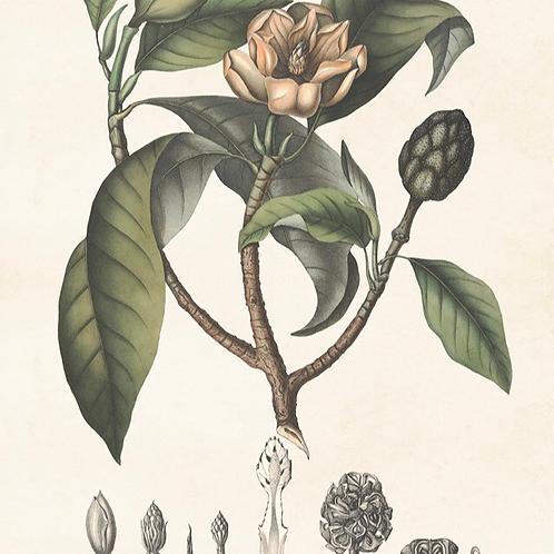 Poster, 70x100cm, Magnolia