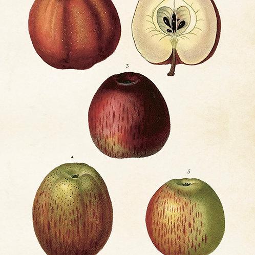 Poster, Äpplen, 35x50cm