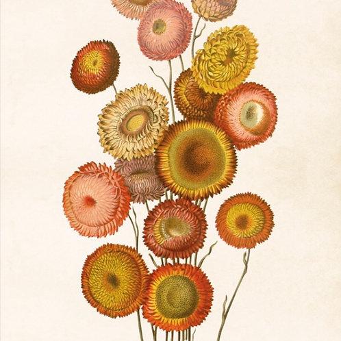 Poster, 35x50cm, Krysantemum