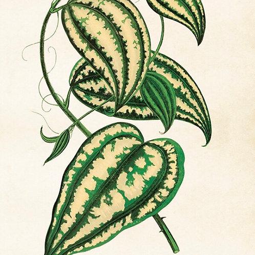 POSTER, 35x50cm, Caladium, Gröna blad,  från Sköna Ring