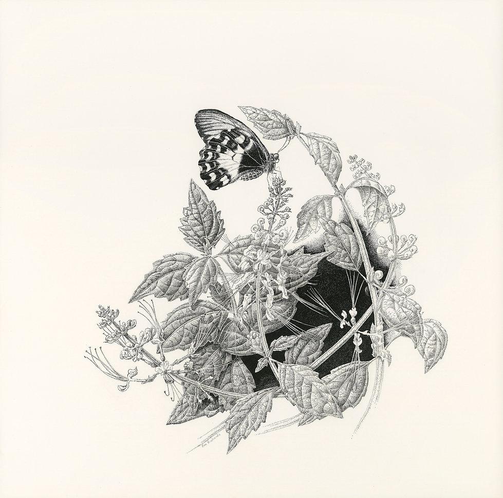 Art by Eva Richards, Brisbane, Botanical Artist