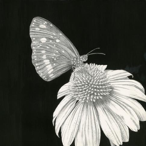 Echinacea .jpg