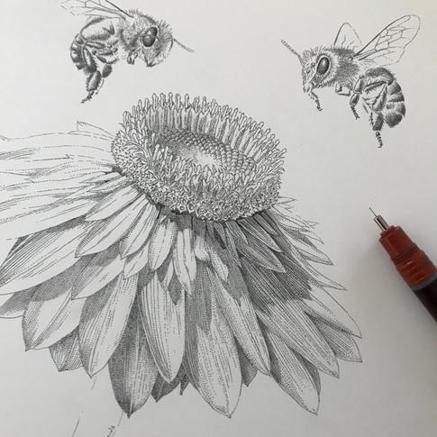 Golden Everlasting and European Honey Bee