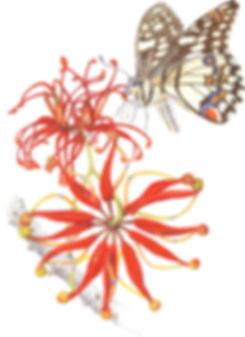 eva richards, botanical artist, botanical art, brisbane, australia, artist, arti, local artist