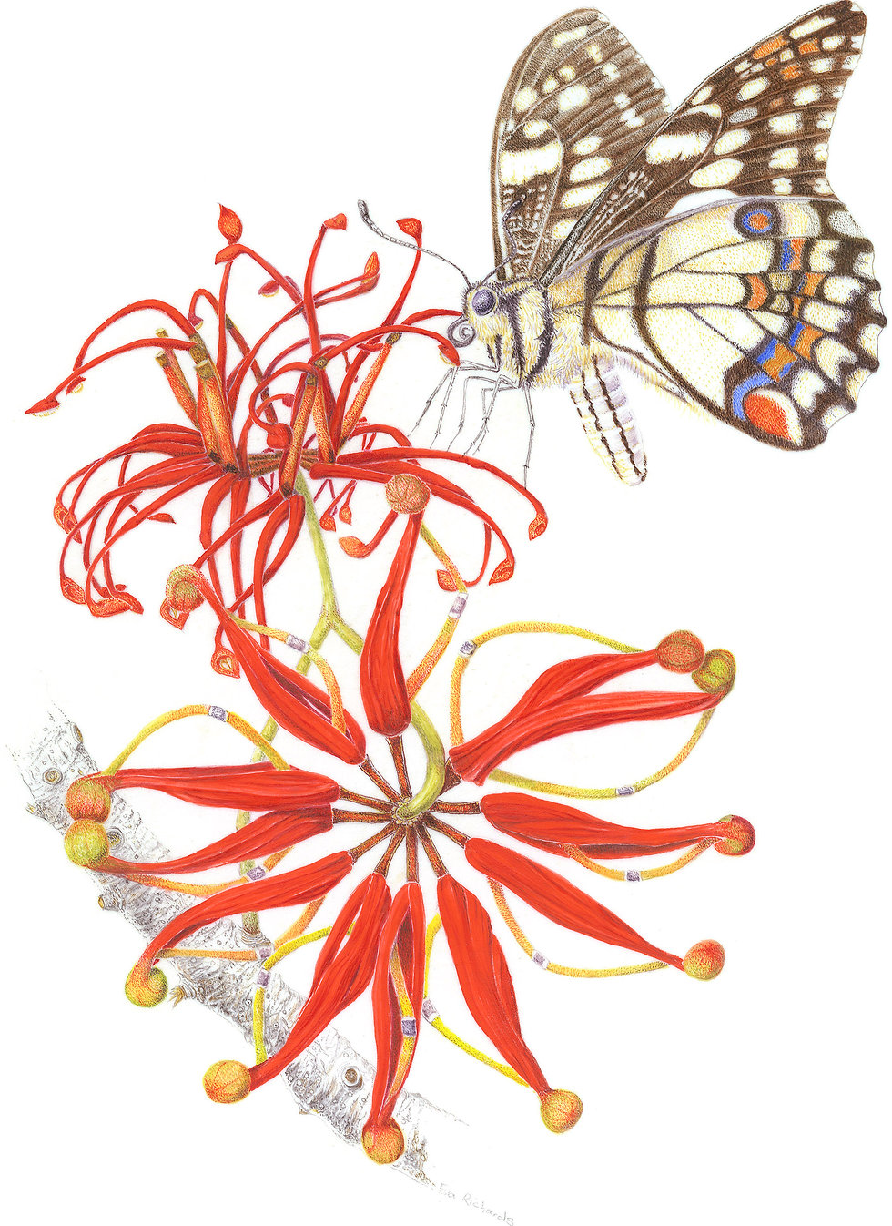 eva richards, botanical artist, botanical art, brisbane, australia, artist, arti, local artist