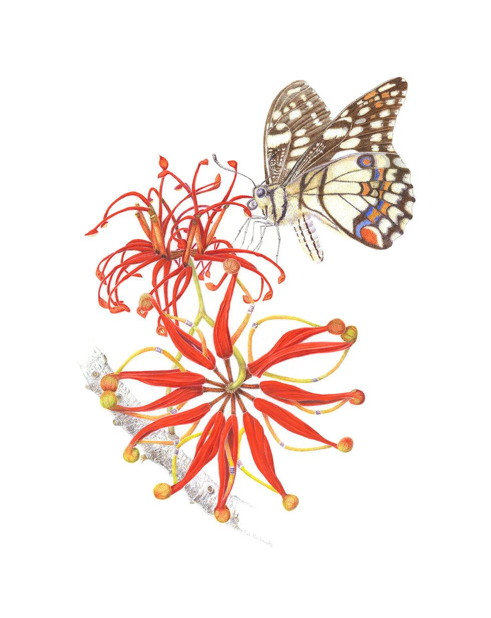 Stenocarpus sinuatus & Papilio demoleus By Eva Richards