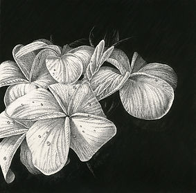 Art by Eva Richards, Brisbane, Botanical Artist