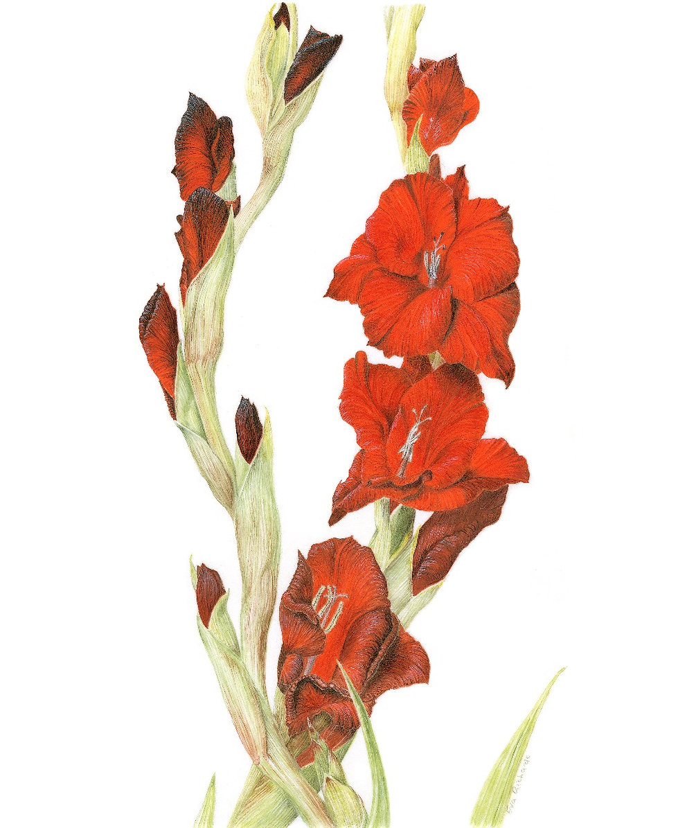 Gladiolus grandiflora By Eva Richards