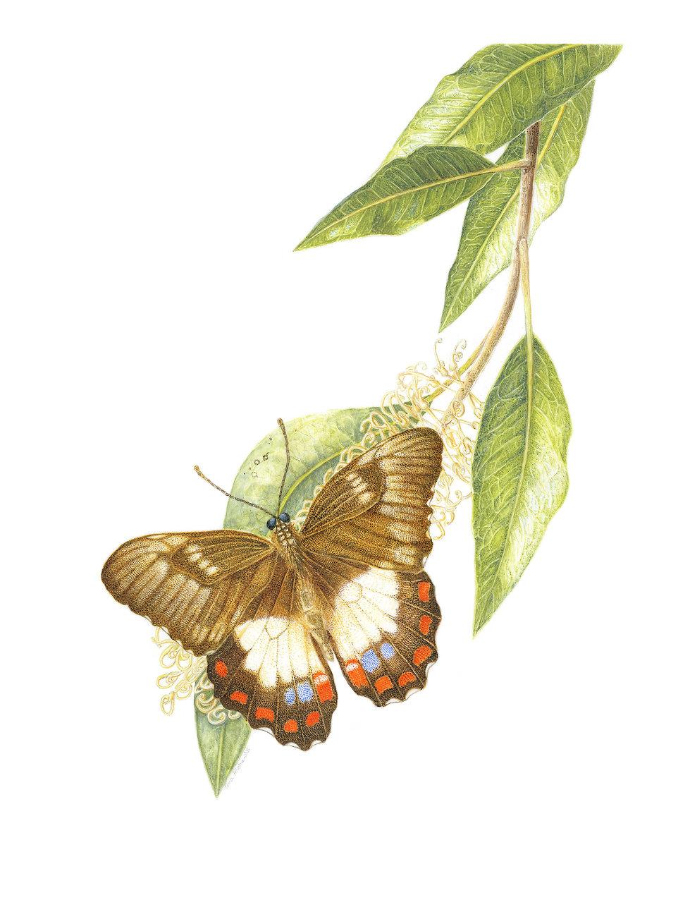 Buckinghamia celsissima By Eva Richards