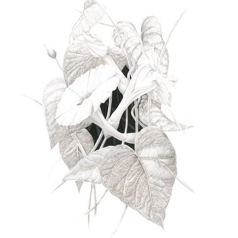Ipomoea macrantha
