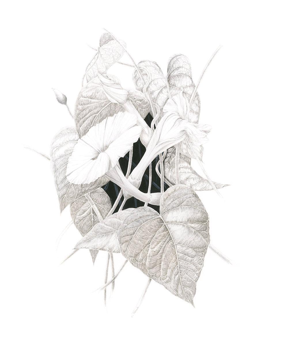 Ipomoea macrantha By Eva Richards