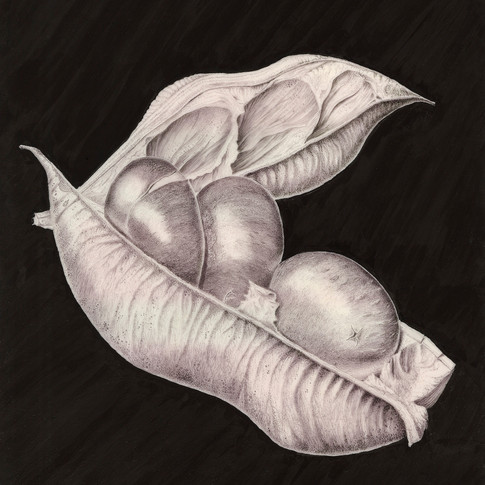 Castanospermum australe By Eva Richards