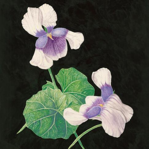Viola hederacea By Eva Richards