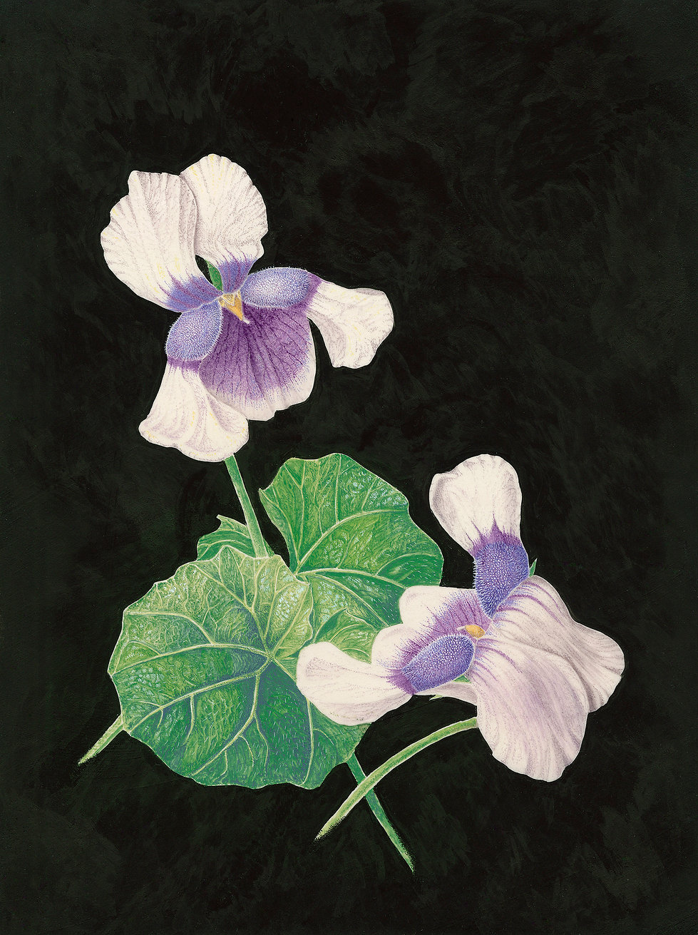 Viola hederacea By Eva Richards