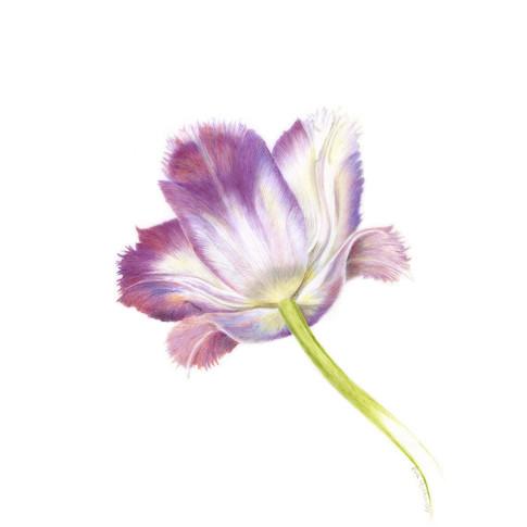 Tulipa By Eva Richards