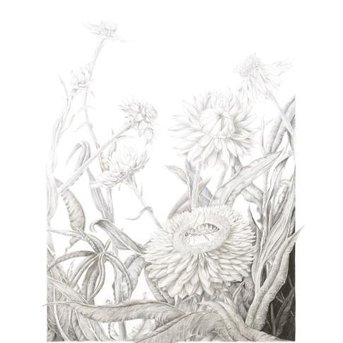 Xerochrysum bracteatum by Eva Richards