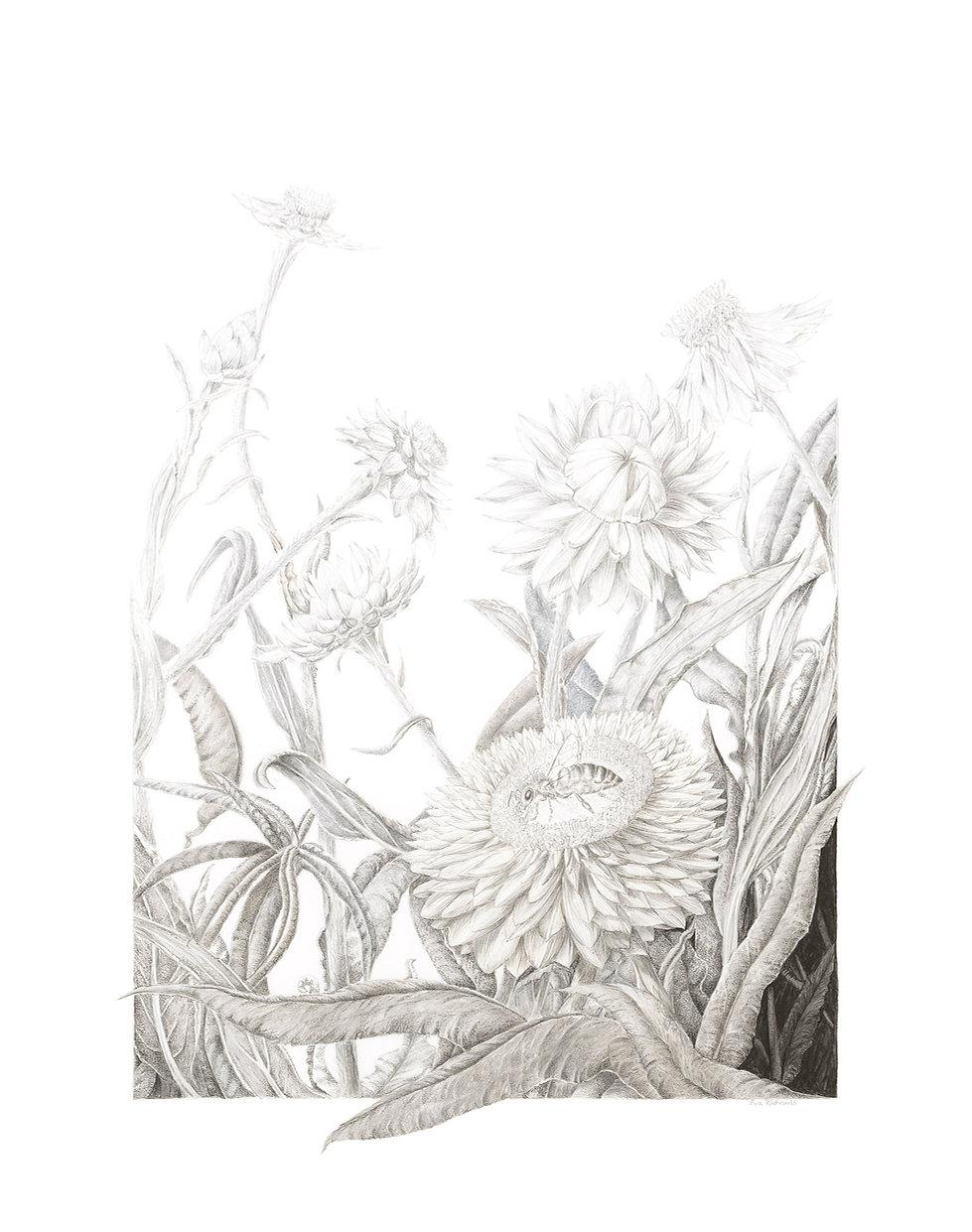 Xerochrysum bracteatum and Apis mellifera by Eva Richards