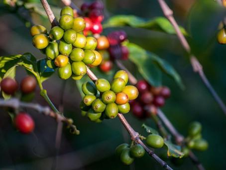 Coffee Processing: Honey Process