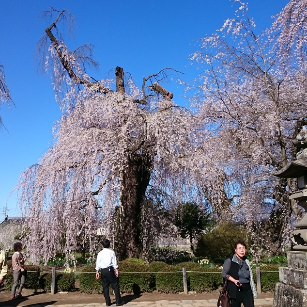樹齢400年の枝垂れ桜