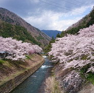 島々谷の桜並木