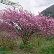 水殿公園の八重桜