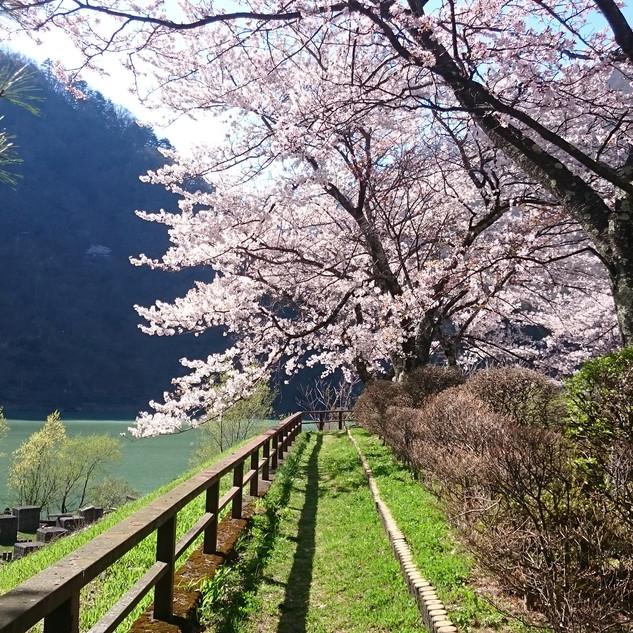 稲核 水殿ダム公園の桜