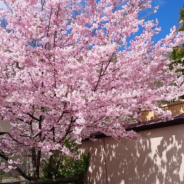 しおり絵駐車場脇の桜