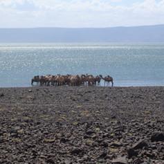 Camels in Lake Turkana.jpg
