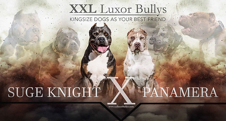 XL American Bullys